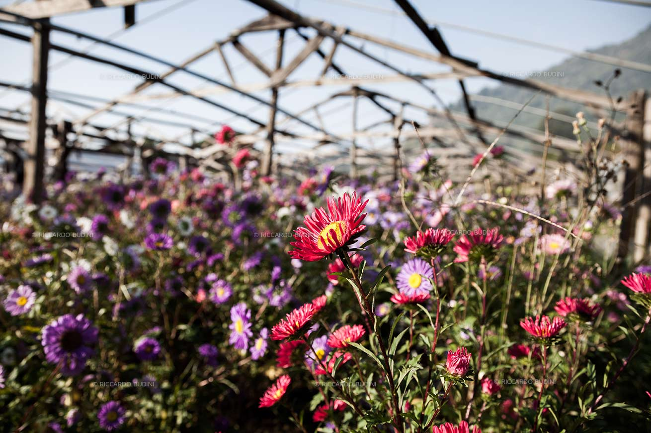 Asters just opened and spread their petals under the first morning lights.