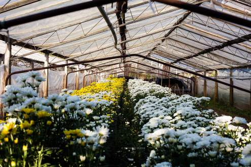 The chrysanthemums inside one of the six still fully working greenhouses.